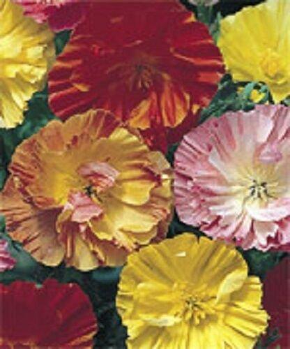 KIMIZA - 40+ CALIFORNIA MISSION BELL POPPY FLOWER SEEDS MIX / PERENNIAL / PAPAVER
