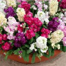KIMIZA - 40+ CINDERELLA MIX STOCK FLOWER SEEDS / SCENTED ANNUAL