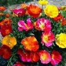 KIMIZA - 40+ THAI SILK CALIFORNIA POPPY FLOWER SEEDS MIX / RESEEDING ANNUAL / PAPAVER