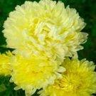 KIMIZA - 30+ YELLOW DUCHESS ASTER FLOWER SEEDS / TALL / PAEONY / SELF-SEEDING ANNUAL