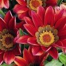 KIMIZA - 35+ FALSE MALLOW SIDALCEA HEM ROSE PINK PERENNIAL FLOWER SEEDS