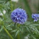 KIMIZA - 50+ GLOBE GILIA FLOWER SEEDS BEAUTIFULLY SCENTED ANNUAL EASY TO GROW!