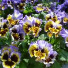KIMIZA - NEW! 30+ FRIZZLE SIZZLE YELLOW BLUE SWIRL RUFFLED PANSY FLOWER SEEDS / PERENNIAL
