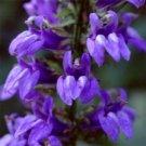 KIMIZA - 30+ LOBELIA CARDINALIS BLUE CARDINAL VINING CLIMBER PERENNIAL FLOWER SEEDS