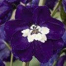 KIMIZA - 25+ MAGIC FOUNTAINS DARK BLUE W/ WHITE BEE DELPHINIUM FLOWER SEEDS / PERENNIAL