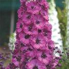 KIMIZA - PACIFIC GIANT ASOLAT RASPBERRY DELPHINIUM FLOWER SEEDS / DISEASE RESIST PERENNI