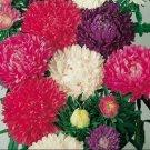 KIMIZA - 30+ ASTER MILADY CUT FLOWER ASSORTMENT FLOWER SEED MIX / ANNUAL