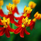 KIMIZA - 30+ BLOODFLOWER BUTTERFLY WEED FLOWER SEEDS / ASCLEPIAS / PERENNIAL / GREAT GIFT