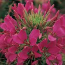 KIMIZA - 50+ GIANT ROSE QUEEN CLEOME / SPIDER FLOWER SEEDS / PERENNIAL