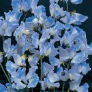 KIMIZA - 50+ BLUE EVENING OR NIGHT SCENTED STOCK FLOWER SEEDS / ANNUAL / MATTHIOLA