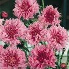 KIMIZA - 35+ PINK BACHELOR'S BUTTON CORNFLOWER FLOWER SEEDS / LONG LASTING ANNUAL