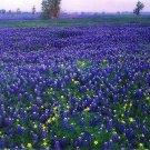 KIMIZA - 40+ BLUE LUPINUS FLOWER SEEDS / TEXAS BLUEBONNET / WATER, HEAT TOLERANT / LUPINE