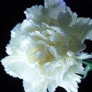 KIMIZA - NEW! 30+PURE WHITE CARNATION FLOWER SEEDS / PERENNIAL