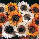 KIMIZA - 50+ VENIDIUM MONARCH OF VELDT CAPE DAISY ORANGE & WHITE FLOWER SEED MIX ANNUAL