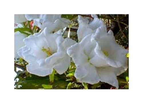 KIMIZA - 50+ CAMPANULA WHITE DOUBLE CANTERBURY BELLS PERENNIAL FLOWER SEEDS