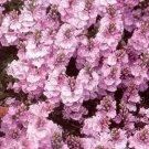 KIMIZA - 40+ VERONICA ROSEA PERENNIAL FLOWER SEEDS GREAT CUT FLOWER