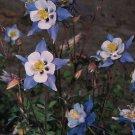 KIMIZA - 25+ AQUILEGIA COLUMBINE HEAVENLY BLUE AND WHITE FLOWER SEEDS / PERENNIAL