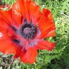 KIMIZA - 50+ PRINCE OF ORANGE POPPY FLOWER SEED / PERENNIAL / PAPAVER ORIENTALE