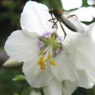 KIMIZA - 70+ POLEMONIUM PEARL WHITE / PEARL BLUE JACOB'S LADDER FLOWER SEEDS MIX / PEREN