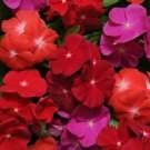 KIMIZA - 40+ FRAGRANT VINCA PACIFICA BOLD FLOWER SEEDS MIX / PERIWINKLE / ANNUAL