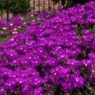KIMIZA - 50+ DELOSPERMA PURPLE ICE PLANT FLOWER SEEDS / PERENNIAL