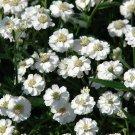 KIMIZA - 50+ ACHILLEA THE PEARL / YARROW FLOWER SEEDS / PERENNIAL / DEER RESISTANT