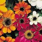 KIMIZA - NEW! 50+ ZINNIA PROFUSION MIX 12 INCH DWARF FLOWER SEEDS / DISEASE RESISTANT