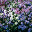 KIMIZA - 50+ PRUNELLA FLOWER SEED MIX / GROUND-COVER / PERENNIAL