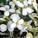 KIMIZA - 50+ Arabis Caucasica White Rock Watercress Flower Seeds / Perennial / Deer
