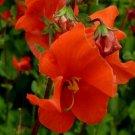 KIMIZA - 25 + Scarlet Alonsoa Mask Flower Seeds / Annual