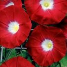 KIMIZA - 35 + Crimson Rambler Bluebells Flower Seeds / Perennial / Ipomea
