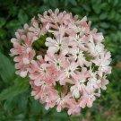 KIMIZA - 30 + Lychnis Heirloom Angel Rouge / Perennial / Deer Resistant / Easy to Grow