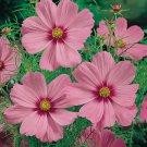 KIMIZA - 35 + Cosmos Sensation Pinkie Flower Seeds / Drought Tolerant