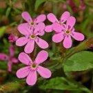 KIMIZA - 35 + Saponaria Rosa Soapwort Flower Seeds / Self-Seeding Annual / Deer