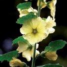 KIMIZA - Yellow 3.4 M Large Danish Giant Hollyhock Floral Seeds 35+