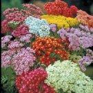 KIMIZA - 50+ Achillea Colorado Mix / Yarrow Flower Seeds / Resistant Deer