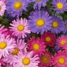 KIMIZA - SINGLE MIX ASTER FLOWER SEEDS 50 FRESH SEEDS