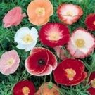 KIMIZA - 100 SHIRLEY POPPY FLOWER SEEDS POPPY SEED RED AND PINK MIX