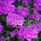 KIMIZA - 100 FRESH SEEDS MOSS VERBENA FLOWER