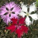 KIMIZA - 100 FRESH FLOWER SEEDS FRINGED PINKS