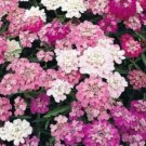 KIMIZA - 100 FRESH SEEDS CANDYTUFT MIXED COLORS WHITE/PINK/PURPLE