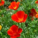 KIMIZA - 100 FRESH SEEDS MIKADO CALIFORNIA POPPY FLOWER