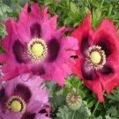 KIMIZA - 50 FRESH SEEDS PEPPERBOX POPPY FLOWER SEEDS