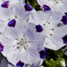 KIMIZA - 50 FRESH SEEDS FIVE SPOT FLOWER