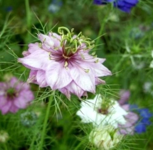 KIMIZA - 50 FRESH SEEDS LOVE IN A MIST FLOWER SEEDS MIXED COLORS