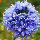 KIMIZA - 100 FRESH SEEDS GLOBE GILIA SEEDS BLUE