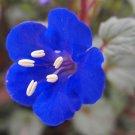 KIMIZA - 50 FRESH SEEDS CALIFORNIA BLUEBELL FLOWER SEEDS BLUE BELL