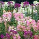 KIMIZA - 100 FRESH SPIDER PLANT MIXED FLOWER SEEDS