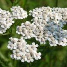 KIMIZA - 200 FRESH SEEDS WHITE YARROW PERENNIAL FLOWER