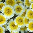 KIMIZA - 100 FRESH SEEDS TIDY TIPS FLOWER